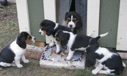 Pick your favourite and put it on hold! These adorable tri-colored beagles were born on August 21st and have their first shots and de-worming. They are waiting for you to take them home soon. The beautiful, healthy and intelligent pups will make good