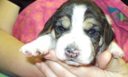 5 Tri-colored beagle puppies born November 20th, ready for new homes January 15th. Will have vet check and first shots. Both parents in home for viewing. 2 boys and 3 girls left. $100 deposit to reserve your choice. Call Suzie 778-754-1801 West Kelowna