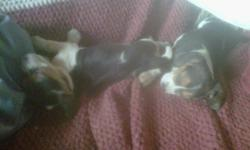 I have 8 beautiful female beagle puppies for sale. They are available to join their new families as of December 21, 2011. Both Mom and Dad beagles live together in same household. Pups have been handled and socialized. Prefer email or text as phone