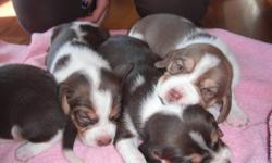 Pups will be 6 weeks old, oct 17th. There are 2 boys and 4 girls.Absolutely adorable! From excellent hunting stock as well.