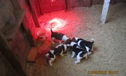 for sale 3 male beagle pups from great hunting stock.We have both parents