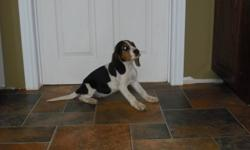 I have 1 tri-colored female puppy left available. Mom is a Walker Hound, and the dad is a Beagle. Both parents are excellent hunting dogs. Puppy is dewormed and ready for her new home. She would make an excellent hunter, or a great family pet. Both