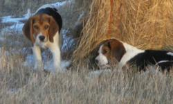 Younge beagles ready to go , tri color males and females. Vaccines , micro chip ,dewormed . For more Information Call 403-882-2400  Debbie