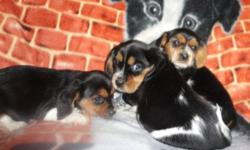 I have 2 males and 1 female beaglier puppies for sale. Mom is the Beagle and Dad is the Cavalier King Charles Spaniel both parents are on site. Price of puppy without vet check and no shots is $225 Price of puppy with vet check, first shots, 1 year puppy