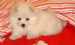GORGEOUS toy/mini American Eskimo pups - will mature to about 15 lbs. Highly intelligent, loyal, great little watchdogs. These babies are now 8 weeks and range from 2.5 lbs to about 4.5 lbs. - simply adorable!!!! Please call for more info. 604-533-6905