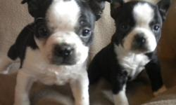 Gorgeous, sweet little Boston terrier pups now available to approved homes. Our adorable pups come with UTD vaccines, Deworming, Revolution and Written Health Guarantee. Well socialized, friendly and very affectionate