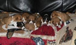 They finally arrived! Our Ruby had her puppies. We have 9 beautiful puppies (4 male & 5 female) that we are offering to approved homes. Basenji's are hypoallergenic dogs that do not bark, have doggy smell or shed. They make a wonderful addition to a