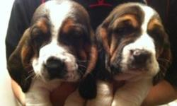 Perfect Christmas present! These adorable little purebred hounds are the gifts that will keep on giving. They love attention and are very easy to train. Basset Hounds are devoted well mannered and even tempered dogs. I will add individual photos soon!
