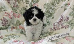 Beautiful, sweet, smart, cuddly and non-shedding Bichon Shih Tzu puppies for sale.    Puppies will be ready to go home Oct 29, 2011. Pictures shown are the puppies that are currently available, and I will remove pictures from this ad as they are sold.