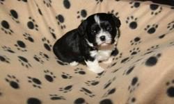 Beautiful, sweet, smart, cuddly and non-shedding Bichon Shih Tzu puppies for sale.  NOTE: the first picture is the male puppy that will be ready to go home December 17, 2011. The last 3 pictures are puppies that will be ready to go home Dec 24. Of course