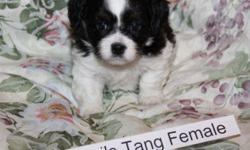 Beautiful, sweet, smart, cuddly and non-shedding Bichon Shih Tzu puppies for sale.    I have 2 male and 3 female puppies (pictured) who will be ready to go home Jan 14, 2012   Puppies have a one year Puppy guarantee included.   All puppies have had their