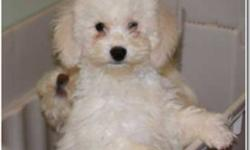 I have two beautiful, affectionate and healthy Bishapoo puppies looking for their forever homes. They are both playful, intelligent and hypoallergenic. Each of them relates well to children and will make loving companions for families or individuals. Both