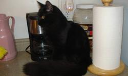 Hi i have a very pretty black kitten ,looking for his for ever inside home, he was wormed at my vet , as been neutered ,as had all his shots distemper, luekemia,and rabies,he was born indoors and as never been outside ,so no fleas or ear mites ,he is very