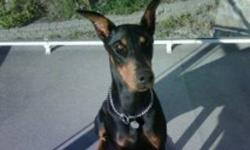 I have a beautiful Female BLK & TAN for sale asking $600 I just dont have time for her. I have had her since birth. She is the pick of the litter KING size doberman Born Jan 24th 2010 She needs one on one, no other animals around. Single person or couple