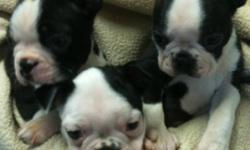 Three beautiful Boston babies. Utd vaccinations and healthcare. Come with vet records. Dew claws removed. Puppy kit including coupons food toys plus much more. Pups are socialized and imprint trained. Health guarantee and contract. Lifetime breeder