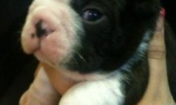 If your looking for a Boston I've got the cutest pups!!! Great markings. Health guarantee and contract. Ready Christmas time. Come with utd vaccinations and healthcare. Dewormed Dew claws removed puppy starter pack plus much more. pups are Imprint