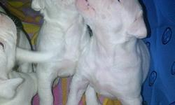 NKC registered beautiful white American Bulldog puppies looking for great homes.  American Bulldogs make great family pets.  They are not aggressive but they are protective over family.  Very friendly natured and love children.  Bulldogs are known for