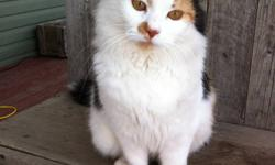 Her name is Sophie. Approximately 3 yrs old. She is extremely friendly and tame. Has had her first set of shots. Has also been dewormed as a precaution recently. She has had a couple of litters the last 2 yrs.Recently has no kittens as she just weaned