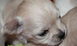 Pet it chihuahuas health. quality. love. We have new puppies! 4 beautiful cream and white long hair female puppies available to their new homes in approx. 6 weeks. These babies are champion sired from well established AKC lines. Their dad is a beautiful