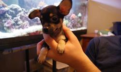 I have 3 beautiful chihuahua puppies left for sale. they are energtic bundles of joy looking a great home they have had their first set of shots. they will come with toys, a blanket and a small bag of food they are currently on. first pic is male, last