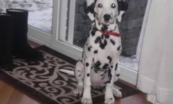 Very well trained and well mannered dalmatian. Completely house trained and kennel trained. 3 monthes old, great with kids and cats. Sits on command and eats on command. asking $700 for puppy will through in a 3' x 4' metal kennel, dog food, dog treats,