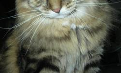 hello everyone!       My name is Lisa and i have to give away my cat, Jazz (from transformers lol), to a GOOD HOME!       Jazz is a Domestic LongHaired dark brown and marble tabby.he is fixed, and tattooed. he is very well behaved and very good with