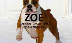 Zoe is fawn and white colored boxer that comes from a country home. She is used to living outside year round, with a heated kennel. She has lots of energy and is very friendly with people. I got her for breeding, but she is not able to have puppies, so I