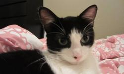 This gorgeous female cat is a stray and she is looking for a forever home. She is very cuddly, sweet natured and and playful. She is a young cat with lots of energy and would be great with a family with kids. She is staying with me temporarily as the
