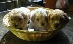 1 Female Cockapoo puppy for sale, $500.00. Tail docked and dew claws removed. Mother and Father can both be seen. Non-Shedding, this pup is good for people with allergies. Ready to go December 31 or later. This pup will has first shots ,deworming , and