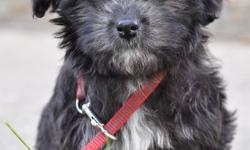 Don't Miss Out!! Very BEAUTIFUL non registered HAVANESE female puppy.  She is the last of her litter.   This black beauty is going to charm you and steal your heart.  Playful with a bit of spunk makes this girl a great start to a family dog.  She is not