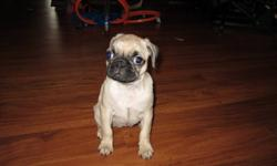 We have one female pug puppy ready to go now just in time for Christmas, She is very good with kids has been around our 4 year old son since she was born. Has her first set of shots. FIRM ON PRICE