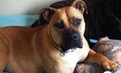 Bella is 2 yrs, spayed, vaccinated. She is a great dog with a solid foundation. 15 yrs experience with large breeds: raised her since 8 weeks and hate to part with her. 100+ lbs, loves kids, protective, Lab size but extremely muscular. She's a tough dog,