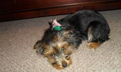 We bought this Yorkie for my little girl, but unfortunately our work hours changed and now Bella is usually by herself. We want her to find a loving home who will have the time to take care of her like she deserves. She is four and a half months, and all