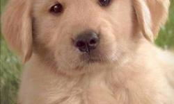 Golden Retriever Puppies Puppies are raised in our house, and are very well socialized with people (including children). All of my puppies come with a full health guarantee. They will have had their first vet check, vaccinations. Both parents are 100%