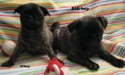 PUG puppies, sweet , happy 1 female fawn and 2 brindle males. these babies love to play, they love their toys and chewers, they love to cuddle and be loved. * these pups have been to the vets, they have had their first set of shots, been de-wormed and are