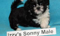 Beautiful, sweet, smart, cuddly and non-shedding Bichon Shih Tzu puppies for sale.    NOTE: the first picture is the male puppy that will be ready to go home December 17, 2011.   The second picture is the male puppy that will be ready to go home Dec 24.