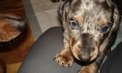Home raised beautifully colored Mini .Dashchund for sale. Parents on site! Very nice small lap dog! Very lovable personality! Great with kids & other pets! Full grown weight will be under 10 lbs, very low shedding!Nice all around dog! males & females ,