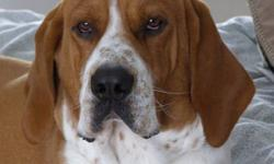Duke is a rescue who is approximately 4 years old and has been living with us for the last two.  The last two years he has been socialized and trained to be the perfect hound. :) He is low energy and walks well on leash, is housebroken and crate trained.