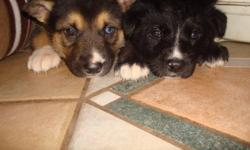 2 females, 4 males. All the puppies have a tint of blue to their eyes! Father is a Siberian Husky, mother is a King German Shepherd. ( BOTH on site ) They are starting to eat puppy chow with warm water so they will be ready to go on December 23rd - would