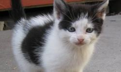 I have four female kittens who are looking for good homes: a brown tabby, a pure black, a black and white, and a brown tabby with white markings. They are eight weeks old, litter trained, and super friendly and playful! They will be sold on a first come,