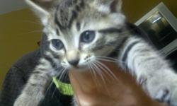 Hello! I have six kittens left, 2 boys and 4 female, beautiful begal/tabby kittens asking thirty dolllars, dewormed and defleaed , need homes asap! Only serious buyers ready to go! 7789821733
