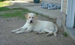 Beautiful 2 1/2 year old golden lab/retriever cross. Neutered female. She is super smart and very friendly. Great with kids, other dogs and horses. I am selling her for my parents as they are retired now and travelling alot. They are having to kennel her