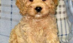 Ready to go Saturday December 03. This puppy will be a great assed to your family!!! They are waiting for their new family to pick them up. This mix has proven to be a wonderful family pet!!! It is a mix between a Cocker Spaniel and a Miniature Poodle and