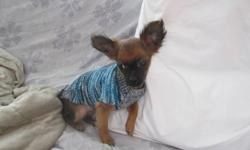Hi Bella is a beautiful, friendly and lively blk and chestnut colored long haired apple head Chihuahua pup whom is 3 months old. She should not weigh  more then 5 lbs as a adult as mom was 4 lbs and dad was 5 lbs. Is good with other dogs, kids and loves