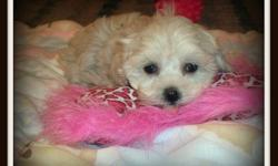 Awesome pups ,perfect family pups 10 pups to choose from the female are 425.00 mom is a poodle dad a Maltese both parents have a great temperament and can be seen those little ones have been raised in our home and yes they do come pre-spoiled mom is 10