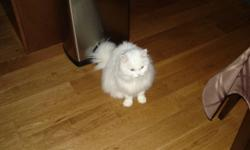 I have a beautiful persian X cat approx 12 years old. One green eye one blue eye. Very good cat. Much to my dismay I have to find a good home for her as recently I have developed a awful allergic reaction to cat dander. I will not give her away unless it