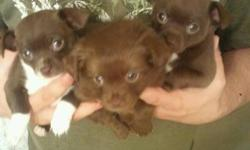 Beautiful Pomchi Puppies For Sale   -Puppies have thier first needles, dewormed and checked by -Whitecourt vet. We have two females and a male. Pups grow to approx 4-6 lbs. They stay very small and are so adorable! We are located in Fox Creek. Pups Are