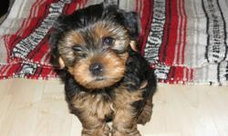 THREE MALE YORKIE PUPPIES FOR SALE , THEY WILL BE AROUND 6LBS FULL GROWN. THEY GOT THE FIRST SET OF VACCINES AND DEWORMERS AND HAVE BEEN BEING PAD TRAINED.  MOTHER IS AVAILABLE ON SITE TO BE SEEN. WILL BE AVAILABLE DECEMBER 14TH TO TAKE HOME, CAN HOLD FOR