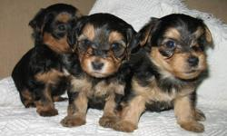 Purebread Australian Silky Yorki,Maltese X puppies. Dewormed and 1st shots. Parents young and healthy.  All puppies look identical.  Males$400.0, and Females$450.00.  Please call to view. 250 6755490.