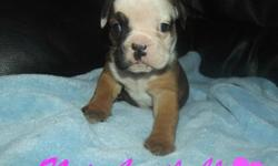 Generational Olde English Bulldog Puppies!! We had an outstanding litter of 8 amazing puppies. We have 1 female and 4 males available. Father is a rare black tri Olde English Bulldog and is absolutely stunning!! Our puppies will come with,  first set of